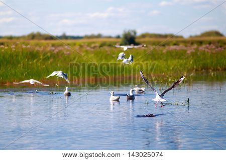 gulls on the lake. tranquil scene at the lake. gulls on the water and in the air