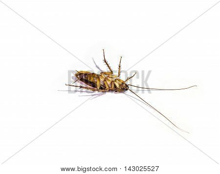 Body of cockroach isolated on white background