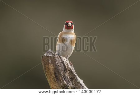 Goldfinch Perched On A Branch In A Forest