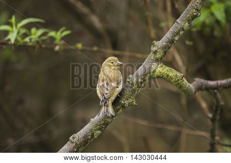 Greenfinch juvenile perched on a branch, in a garden
