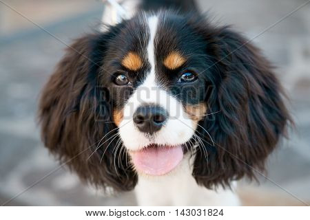 Portrait of a dog Cocker Spaniel outdoor