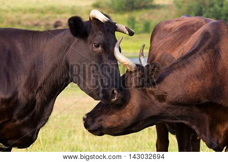 Red And Black Cows