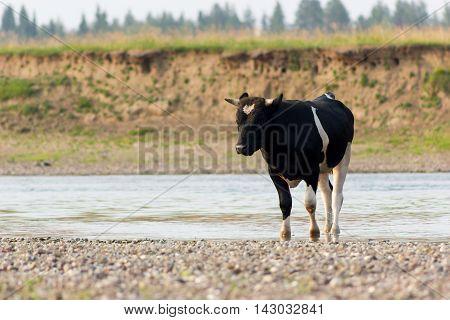 Bull On Riverside