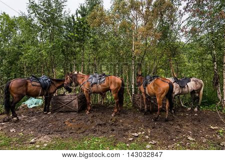 Beautiful horses saddled for travel in mountain forest