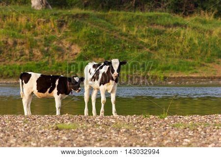 Young bulls of holmogorskaya breed on riverside looking forward