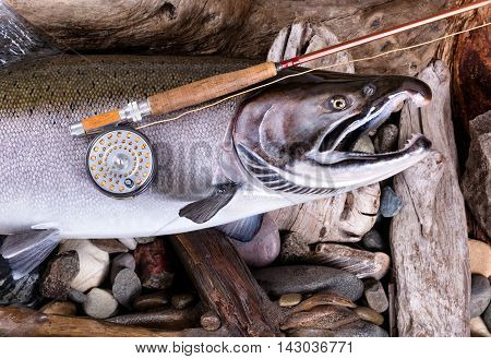 Top view of antique fly rod and reel on large trout with stones and drift wood in background.