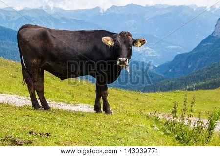 Cow on a summer pasture in the Alps