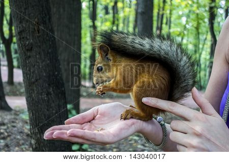 Feeding the Squirrels. Red squirrel sitting on the arm of a young girl and eats nuts.