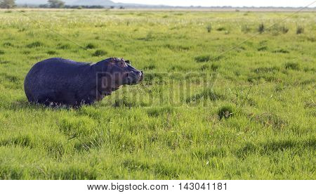 Wild african hippo grazing in the meadows of the savanna in Tarangire National Park, Tanzania.