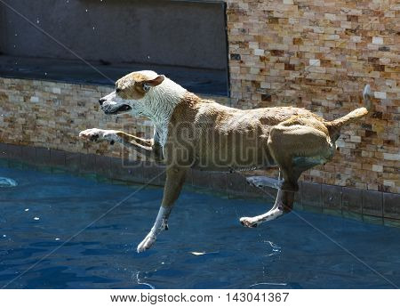 Dog just about to land in the water jumping into a swimming pool