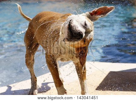 Dog shaking off water after getting out of the swimming pool