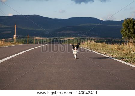 dog Cocker Spaniel runs on the road