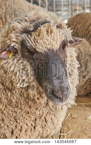 Portrait of a sheep with thick curly hair. Sheep looking at the camera