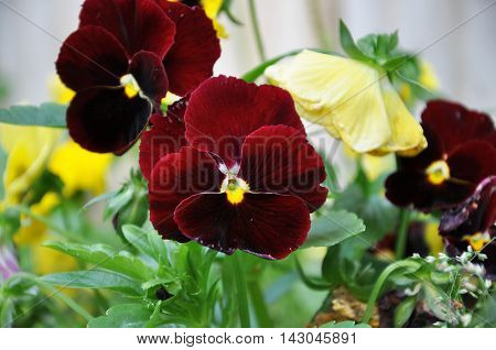 Burgundy flower violets. closeup in garden city