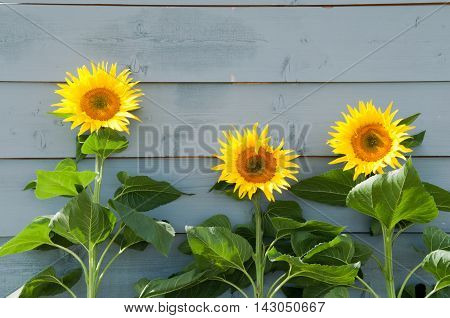 Sunflowers Growing On A Rustic Background