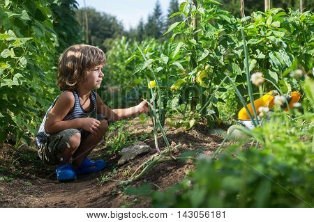 Cute little boy picking yellow capsicum in a vegetable garden. Homegrown natural food.