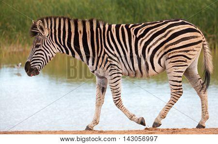 Plains zebra walking past a waterhole after drinking