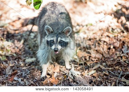 Raccoon looking at camera with leaves around it.