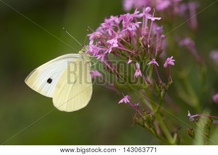 Small White (Pieris rapae) butterfly extracting nectar from an unidentified flower