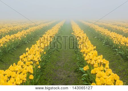 Rows of yellow tulips in field in foggy, misty morning during overcast, gloomy weather