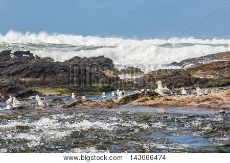 Seagulls on Bob Creek Wayside freshwater river catching fish by pacific ocean waves near Cape Perpetua Oregon