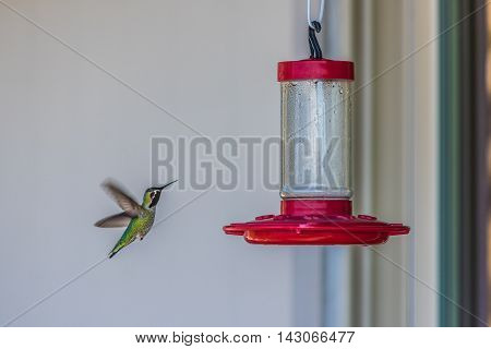 Green california hummingbird in air with wings by red bird feeder