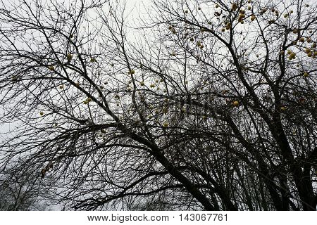 Yellow apples cling to an apple tree (Malus pumila) adjacent to a parking lot in Wequetonsing, Michigan during December.
