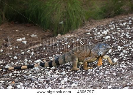 Large Green Iguana walking on a ramp in South Florida