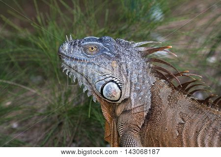 Portrait of a Green Iguana in the morning sun in South Florida