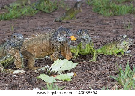 Green Iguanas fouraging over a meal of mango and lettuce