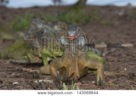 Green Iguana facing the camera with a mouthful
