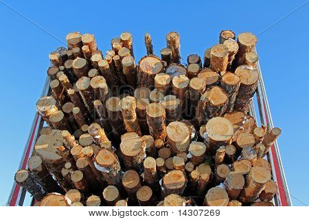 Pine Logs On Logging Semi Trailer