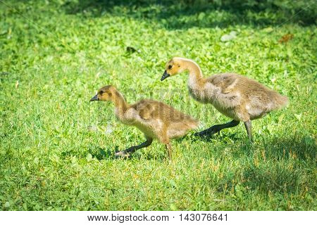 Canada goslings motor along in spring grass.  Baby Canada geese look in search of food with their parents close by near the Ottawa River.