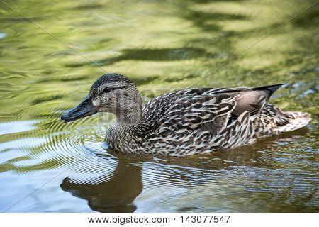 Young female Mallard duck swimming past, close up on Ottawa river.
