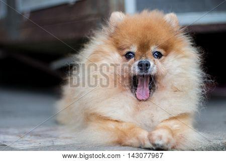 Pomeranian dog in a yawn face, Cute Dog.