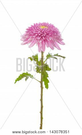 flower pink chrysanthemum on a long stem with green leaves isolated white background