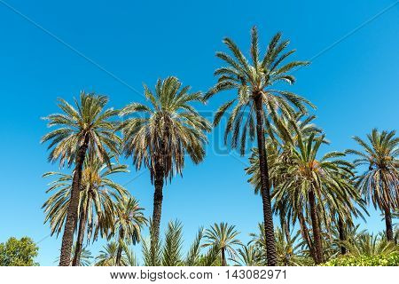 Palm trees in front of a blue sky seen in a tropical paradise