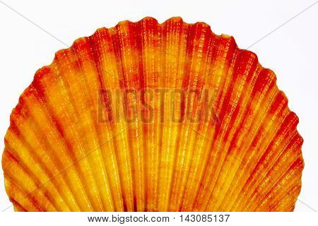 Colorful sea shell of mollusk isolated on white background close up
