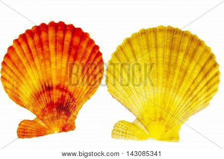 Colorful sea shells of mollusk isolated on white background close up