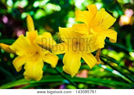 yellow lillies outdoors in duluth minnesota flowers
