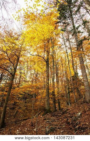 Autumn colorful forest. Natural seasonal scenery. Beautiful tall trees. Vertical composition. Vibrant colors. Yellow scenery.