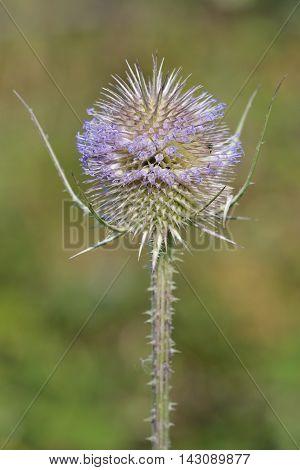 Wild Teasel - Dipsacus fullonum Spiky Summer Flower