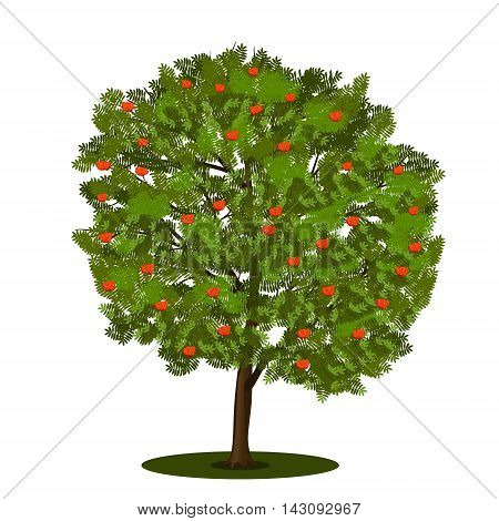 detached tree rowan with green leaves on a white background