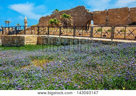 park Caesarea on the Mediterranean. Israel. The ruins of the protective walls and internal structures of the city. The vast field of lavender flowers