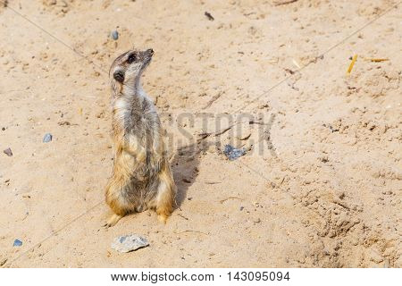 Cute funny meerkat standing on two paws and looking up