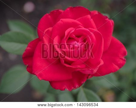 Roses on green blurred background with red petals. Blooming red rose in the garden. Selective, soft focus