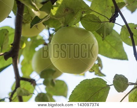 Organic Apple on a Sunny day on Apple tree branch. Close-up of green apple on a branch in an orchard on blured background. Soft, selected focus