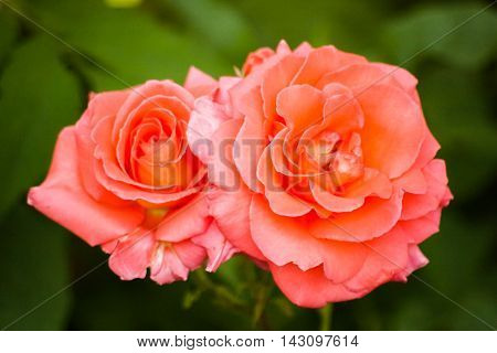 Roses on green blurred background with pink petals. Blooming pink rose in the garden. Selective focus