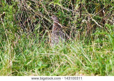 Alert Female Pheasant Hiding In High Grass