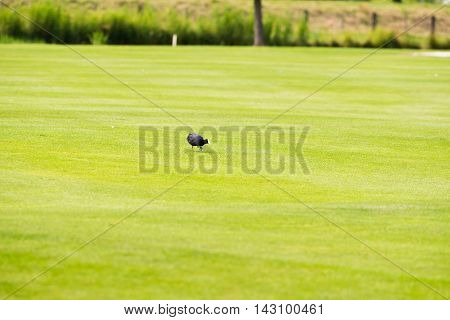 Foraging Coot On Empty Field Of Golf Course